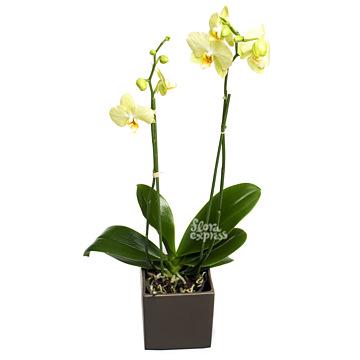 Букет Орхидея «Интуиция»